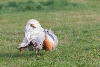 Great Bustard (Otis tarda) male on Salisbury Plain. (c) David Kjaer